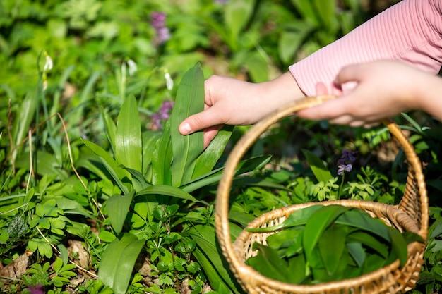 Vrouw oogst bladeren van verse berenknoflook in het bos, kruidengeneeskunde, kruid om te koken, voedselconcept