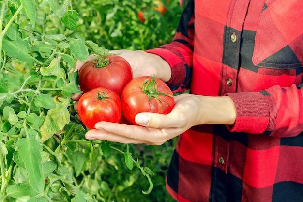 Vrouw oogst tomaten.