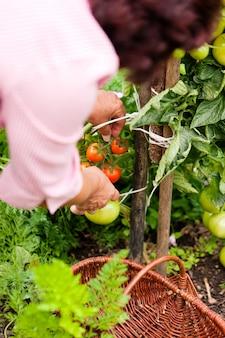 Vrouw oogsten tomaten