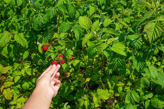 Vrouw op heldere zonnige zomerdag plukt rode rijpe frambozen uit een groene struik