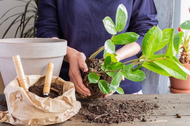 Vrouw plant zamioculcas-bloem opnieuw in een nieuwe bruine kleipot, de kamerplant wordt thuis getransplanteerd