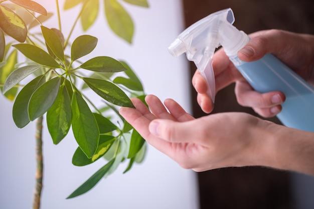 Vrouw sproeit planten in bloempotten. huisvrouw die thuis planten verzorgt, kamerplanten bespuit met zuiver water uit een spuitfles