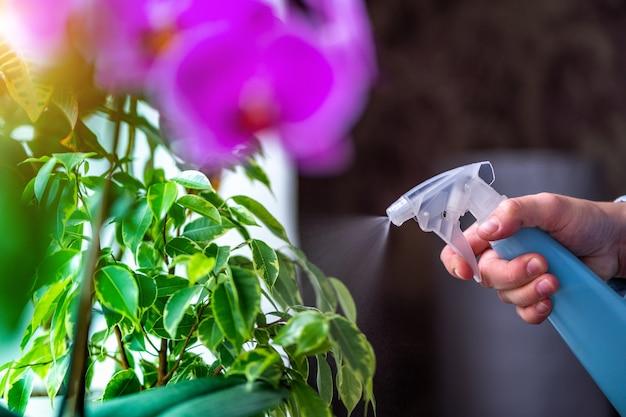 Vrouw sproeit planten in bloempotten. huisvrouw zorgt thuis voor planten en sproeit bloemen met zuiver water uit een spuitfles