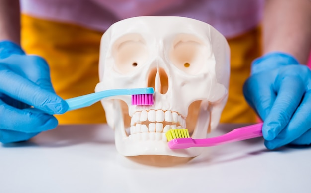 Vrouw tandarts tandenpoetsen van een kunstmatige schedel met behulp van twee tandenborstels