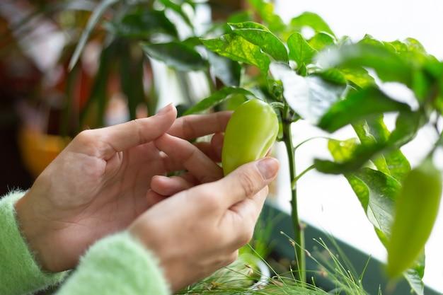 Vrouw tuinman thuis met groene paprika groeiende plant