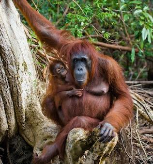 Vrouw van de orang-oetan met een baby in een boom. indonesië. het eiland kalimantan (borneo).