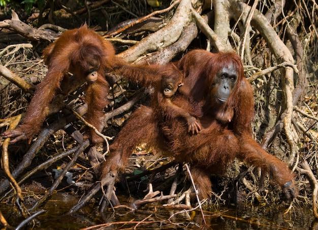 Vrouw van de orang-oetan met een baby in een struikgewas van gras. indonesië. het eiland kalimantan (borneo).