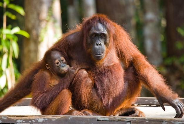 Vrouw van de orang-oetan met een baby zit op een houten platform in de jungle. indonesië. het eiland borneo (kalimantan).