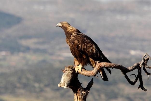 Vrouw van golden eagle met het eerste licht van de ochtend, aquila chrysaetos