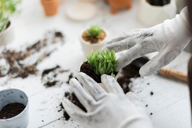 Vrouw verpot een succulente kamerplant