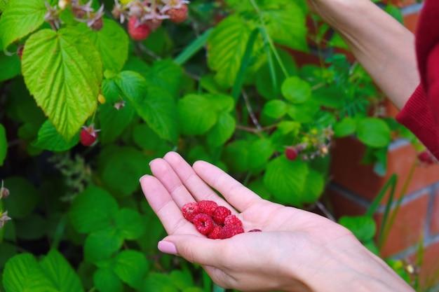 Vrouw verzamelt framboos in een tuin