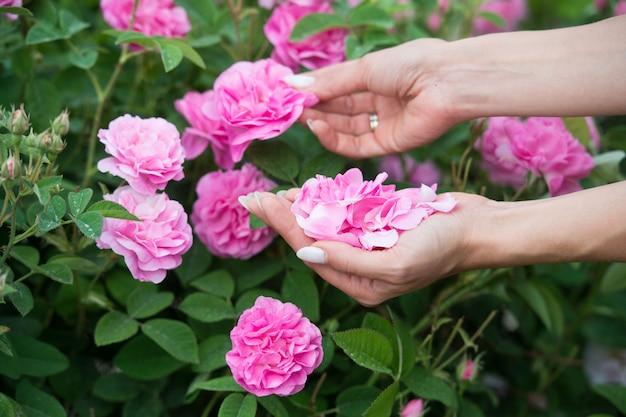 Vrouw verzamelt rozenblaadjes voor de productie van cosmetica bulgarije. aromatherapie. aroma oliën. de schoonheid van een theeroos. lichaamsverzorging.