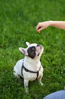 Vrouw voedt franse bulldog op garss