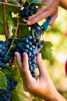 Vrouw wijnmaker plukken wijndruiven