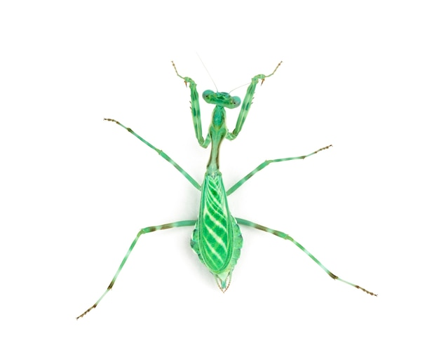 Vrouwelijke afrikaanse pinstripe mantis - miomantis binotata, geïsoleerd op wit