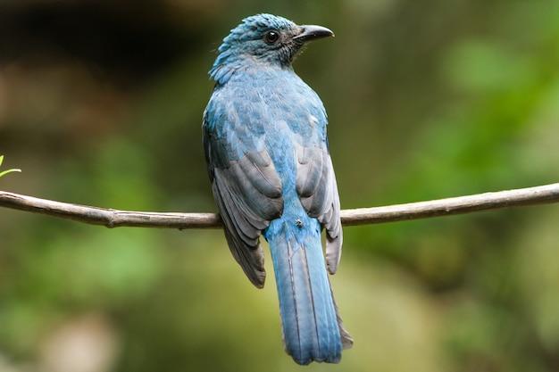 Vrouwelijke aziatische fee-bluebird