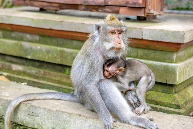 Vrouwelijke balinese apen met lange staart met haar kind in het heiligdom
