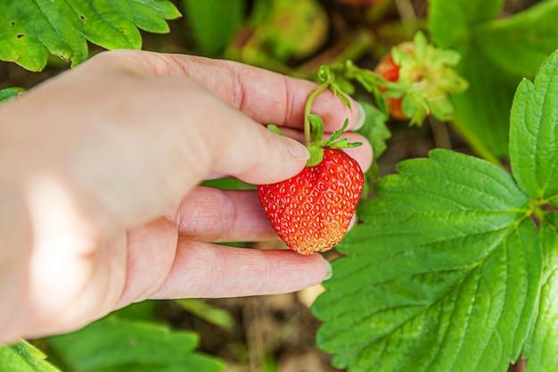 Vrouwelijke bedrijfsmedewerker die rode verse rijpe organische aardbei in tuin met de hand oogsten