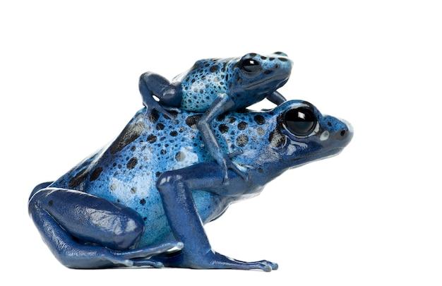 Vrouwelijke blauwe en zwarte pijlgifkikker met jong, dendrobates azureus, tegen witte ruimte