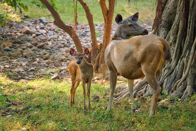 Vrouwelijke blauwe stier of nilgai - aziatische antilope die zich in het nationale park van ranthambore, rajasthan, india bevindt