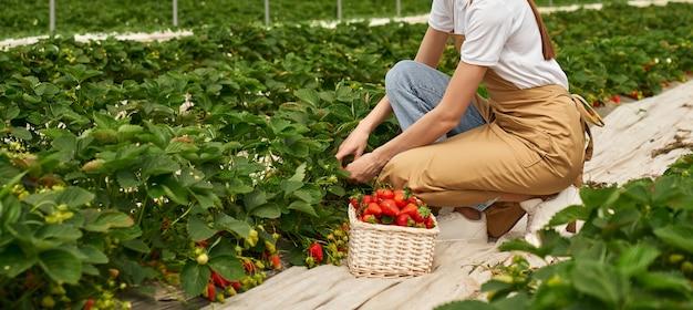 Vrouwelijke boer aardbeien oogsten in kas