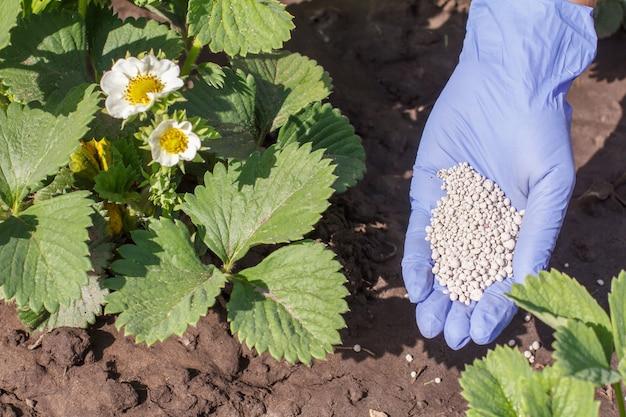 Vrouwelijke boer dient rubberen handschoen in en geeft chemische mest aan jonge aardbeienstruiken tijdens hun bloeiperiode in de tuin