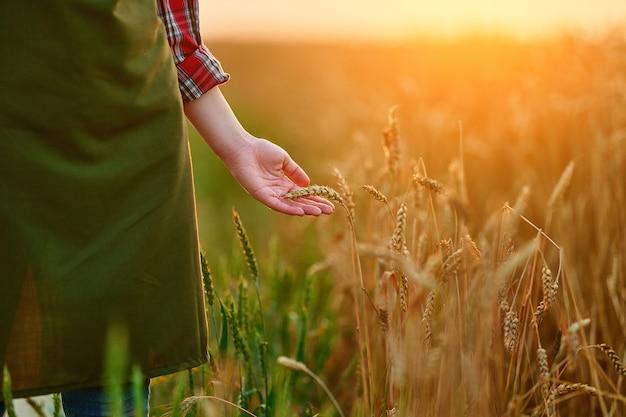 Vrouwelijke boer loopt door een geel veld van rijpe tarwe en raakt de gouden aartjes aan met haar hand bij zonsondergang