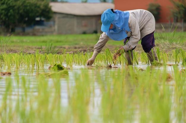 Vrouwelijke boer met blauwe hoed, rijst planten op rijst veld. mensen dragen grijze shirts met lange mouwen en het dragen van rubberen handschoenen werken. transplantatie rijst zaailingen.