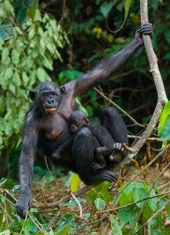 Vrouwelijke bonobo met een baby. democratische republiek van congo. nationaal park lola ya bonobo.
