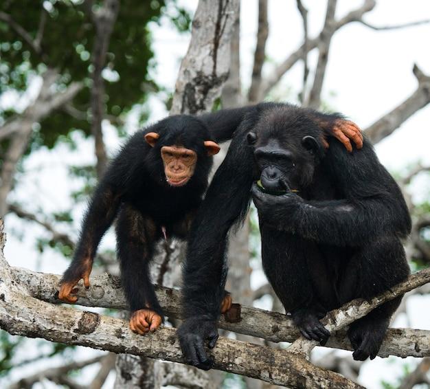 Vrouwelijke chimpansee met een baby op mangrovebomen