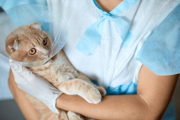 Vrouwelijke dierenarts arts houdt op haar handen een kat met plastic kegel kraag na castratie, veterinair concept.