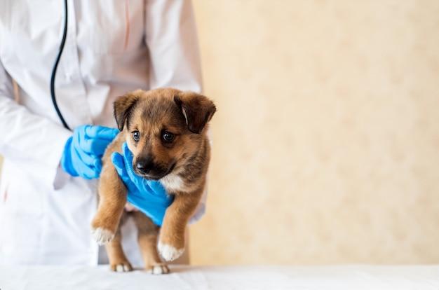 Vrouwelijke dierenarts die schattige puppy in het ziekenhuis houdt.