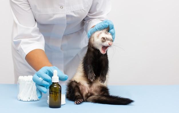 Vrouwelijke dierenarts onderzoekt een geïsoleerde fret van een patiënt