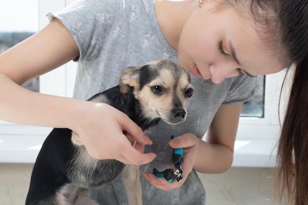 Vrouwelijke dierenarts snijdt de klauwen van een kleine hondenspeelgoedterriër in de kliniek