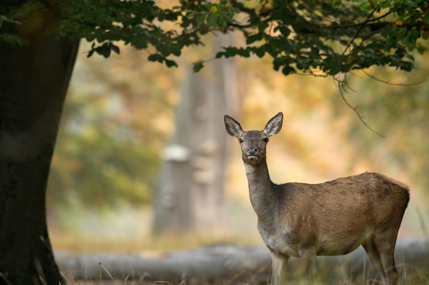 Vrouwelijke edelhert die zich onder een boom, mooi licht op de achtergrond bevinden