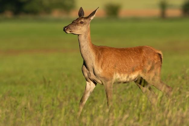Vrouwelijke edelherten, cervus elaphus, lopen op een met gras begroeide hooiveld op een zonnige dag in de zomeraard. hind gaat door weiland vanuit zijaanzicht. dieren in het wild in de wildernis.
