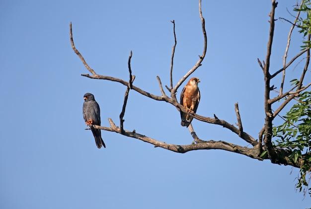 Vrouwelijke en mannelijke roodvoetvalk op de tak