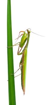 Vrouwelijke europese mantis of praying mantis mantis religiosa geïsoleerd