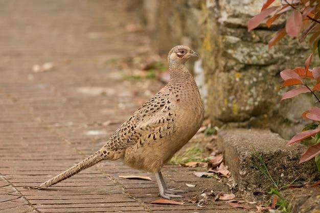 Vrouwelijke fazant
