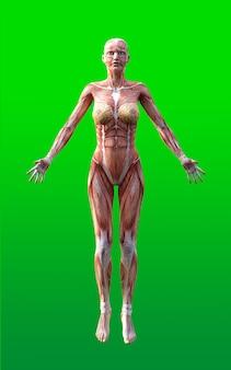 Vrouwelijke figuren poseren met huid en spier kaart isoleren op groene achtergrond