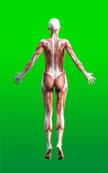 Vrouwelijke figuren poseren met huid- en spierkaart