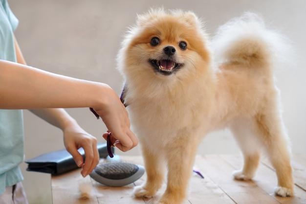 Vrouwelijke groomer kapsel pomeranian-hond op de lijst van openlucht. proces van het laatste knippen van het haar van een hond met een schaar. salon voor honden.