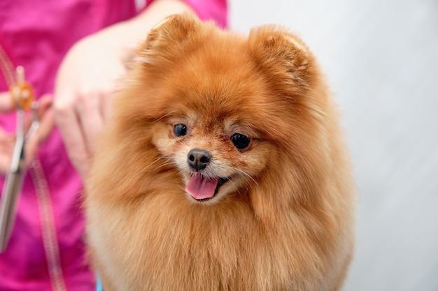 Vrouwelijke groomer kapsel pommeren hond op tafel. proces van het definitief scheren van het haar van een hond met een schaar. salon voor honden.