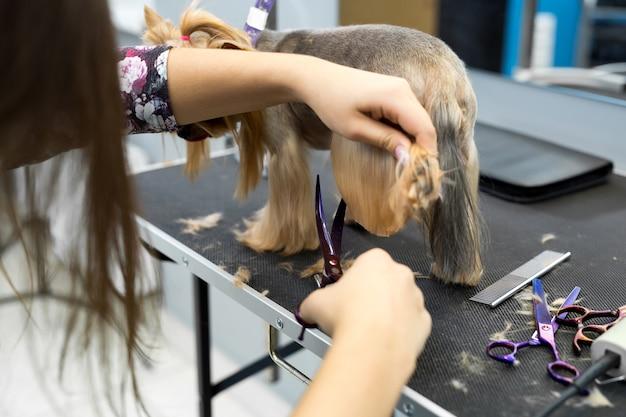 Vrouwelijke groomer kapsel yorkshire terriër op tafel voor het verzorgen