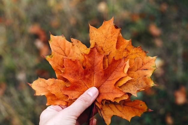 Vrouwelijke hand houdt oranje esdoornbladeren vast, herfstachtergrond, bladverzameling voor geheugen, doe-het-zelf, boeket