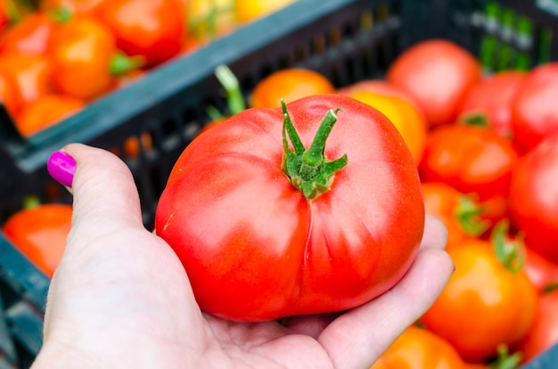Vrouwelijke hand houdt rode tomaat, oogsten. foto