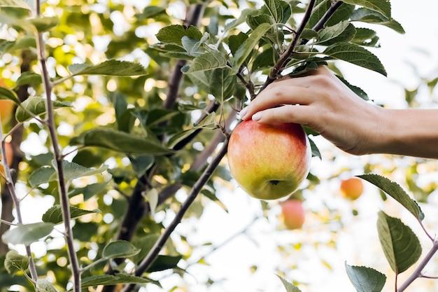 Vrouwelijke hand houdt smakelijke appel op tak van appelboom in boomgaard,