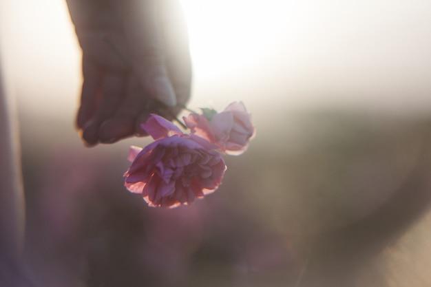 Vrouwelijke hand met een roze roos in zachte focus