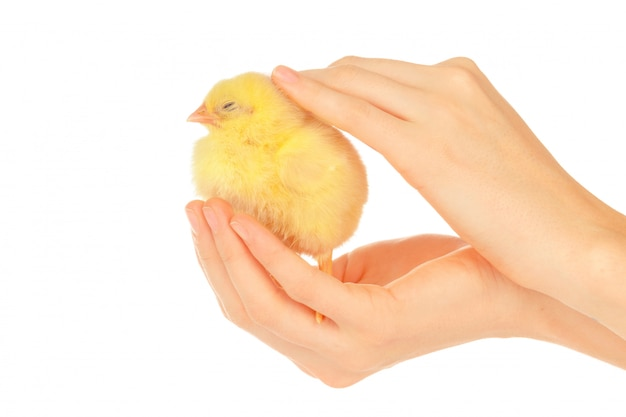 Vrouwelijke handen die weinig kuiken houden