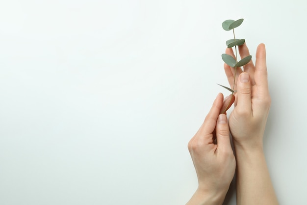 Vrouwelijke handen houden eucalyptustakje op witte achtergrond